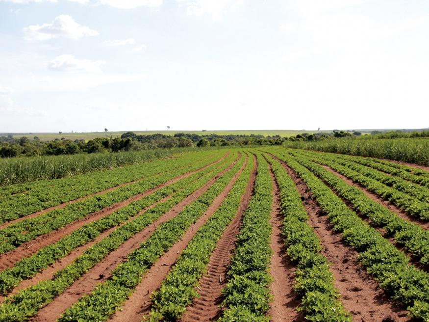 Trabalho próximo à perfeição: se o simples fato de se cultivar o amendoim não é uma tarefa fácil, imagina na meiosi e em alguns lugares com um relevo considerável
