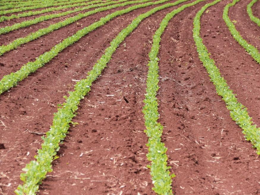 Amendoim brotado em área de Jaborandi-SP
