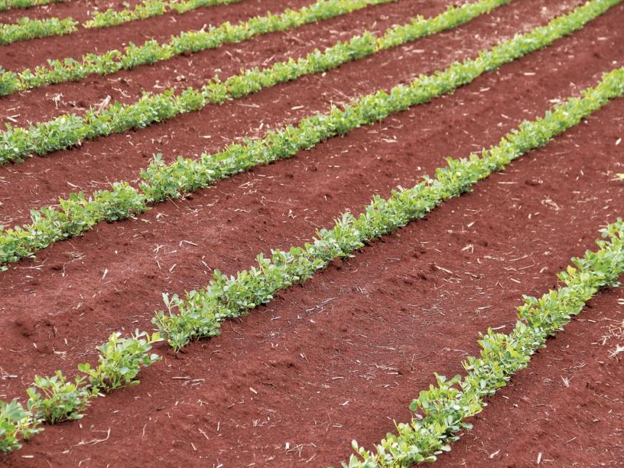 Mesmo com plantio na seca, a planta está se desenvolvendo bem