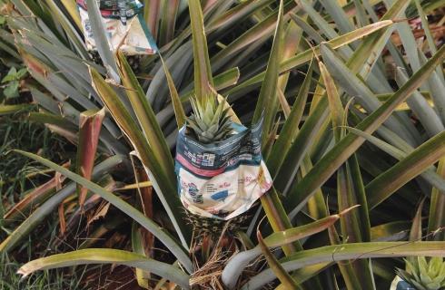 Mais difícil que descascar, é cultivar o abacaxi
